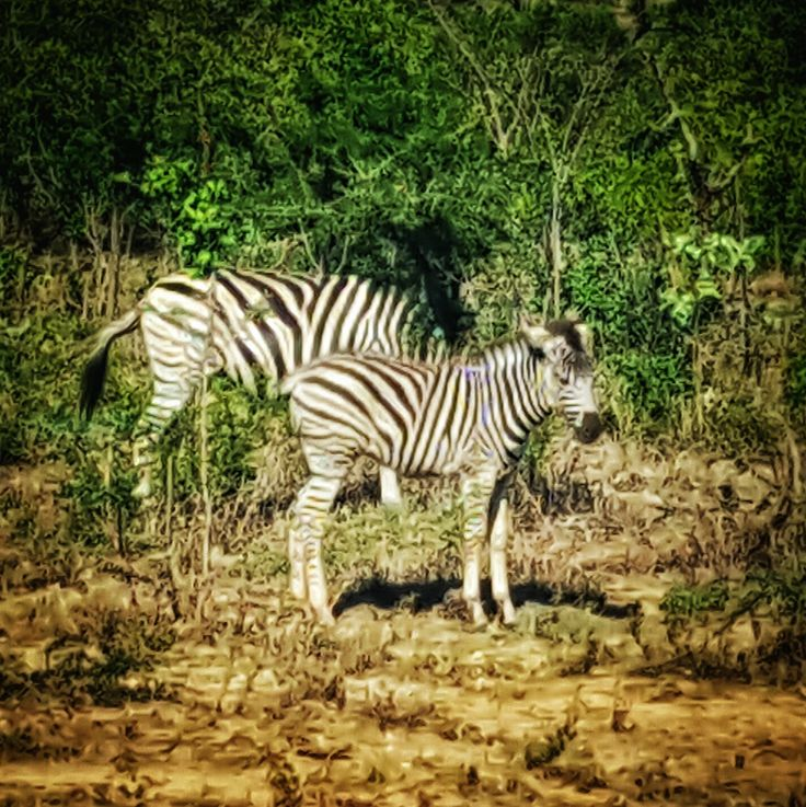 Zebras! Hluhluwe-Imfolozi National Park.