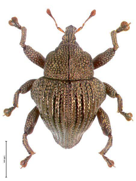 Trigonopterus micans aus den Regenwäldern im Westen der Insel Flores.
