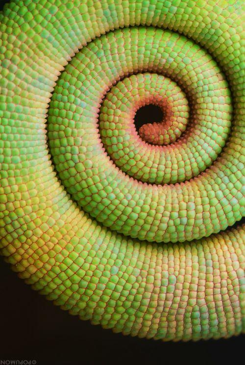 Caméléon la queue en spirale