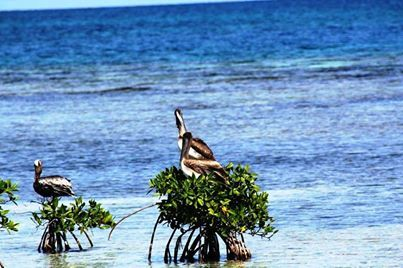 Sea birds at HC Belize enjoying the sun...#hatchetcaye #belize