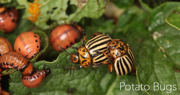 If you're trying to grow potatoes (or any member of the hemlock family) one of the most often encountered problems is the Colorado potato bug or beetle. Larva and adults beetles prey upon potato plants by eating both the blossoms and the leaves. In addition to potato plants, these voracious little beetles also lay waste …