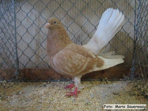 oriental roller pigeons 002