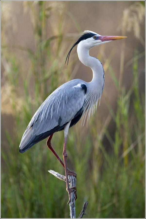 'Grey Heron (Bloureier) | Flickr - © Leon Molenaar                              …