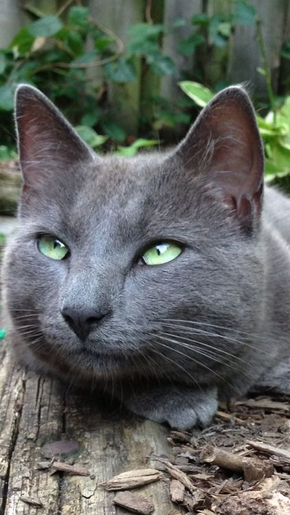 """""""Mother Nature set her jewels in the eyes of a cat."""" --Anonymous. Russian blue"""