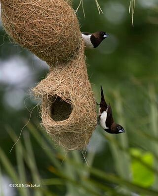 Baya Weaver birds (Ploceus philippinus) is a weaverbird found across the Indian Subcontinent and Southeast Asia. Flocks of these birds are found in grasslands, cultivated areas, scrub and secondary growth and they are best known for their hanging retort shaped nests woven from leaves.