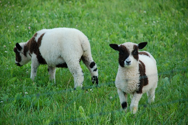 Koh, left, and Ten. Our little lambs.