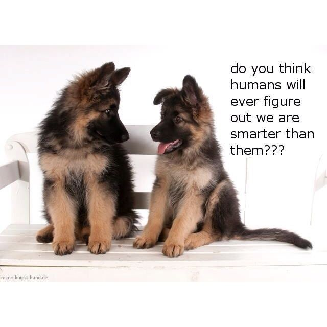 German Shepherds are smart enough to have conversations!