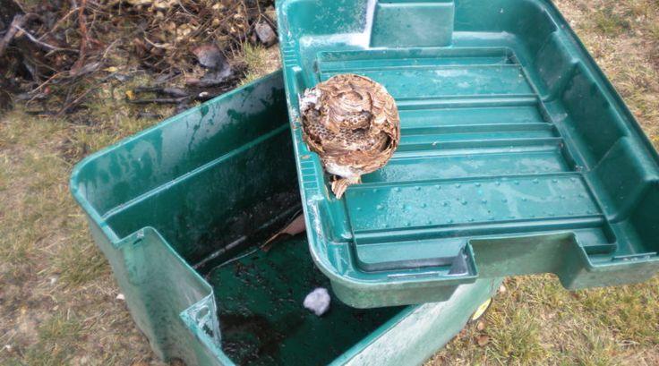 nid de frelons asiatique sous un composteur