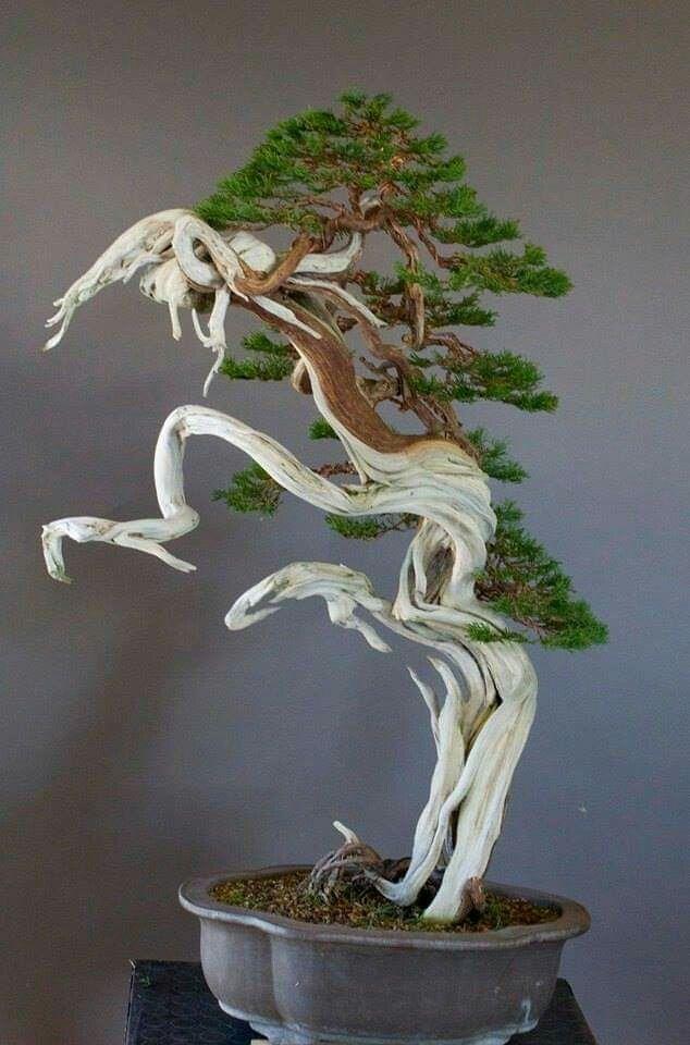 Pin By Adam Looi On Juniper Bonsai Bonsai Tree Juniper Bonsai Bonsai