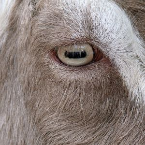Apparently you can't sneak up on a goat.  Goats have horizontal rectangular pupils in their eyes. This wider pupil gives them the advantage of having a much wider periphery and it lets them see the edges of their vision in full 3D, a big advantage. Also it means goats can nearly see behind themselves. #themoreyouknow