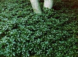 Pachysandra is a wonderful ground cover for shaded areas. Plant carefully because it sends out runners, and you will never get rid of it entirely if you change your mind. It is beautiful if you contain it with some type of edging.