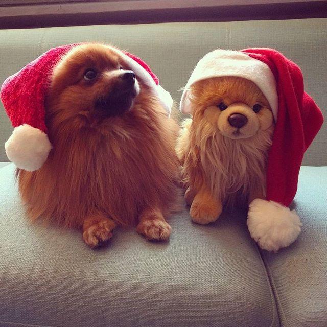 Human, seriously? Now take those stupid hats off. #spitz #spitzalemao #pomeranian #pom #kleinspitz #christmasspirit #dogswithhats