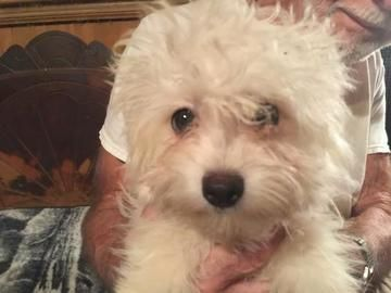 Check out Sugar Baby Barkley's profile on AllPaws.com and help her get adopted! Sugar Baby Barkley is an adorable Dog that needs a new home. https://www.allpaws.com/adopt-a-dog/shih-tzu-mix-maltese/6726492?social_ref=pinterest