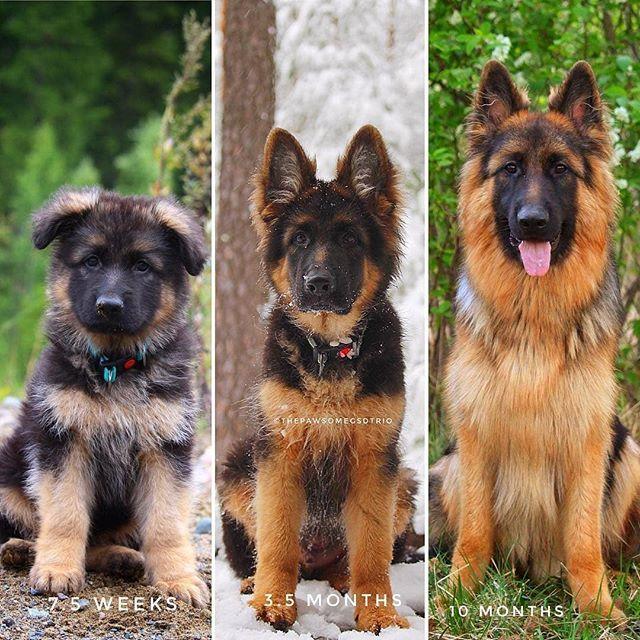 Transformation Beautiful Thepawsomegsdtrio Germanshepherd