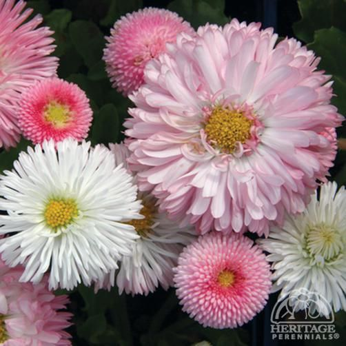 Bellis perennis 'Robella' - English Daisies have long been popular for spring bedding, particularly in mild winter regions. Plants are biennial, usually lasting through one season, but self-seeding to provide future generations. This strain features loads of small double daisies in a glowing salmon-pink shade. Removing faded flowers regularly will keep plants blooming well into the summer. Often used to underplant tulips in large public landscapes, these are excellent anywhere in the garden…