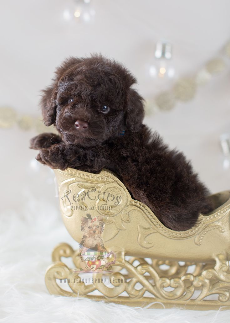 Christmas Puppy: Beautiful Chocolate Poodle Puppy by TeaCupsPuppies.com  #poodle #chocolatepoodle #toypoodle teacuppuppies #puppy #puppies