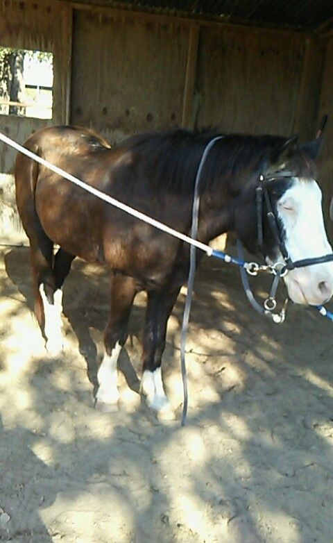 This is Rudy our 27 year old pony still working hard. He is a therapeutic horse used for kids with special needs and has been with us since 2003. I just wanted to post his sweet face since hes the first horse I ever fell in love with.