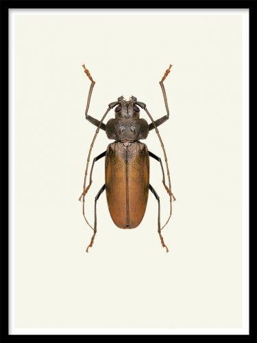 Vintage beetle poster. Vintage affisch. Snygg tavla med en insekt, en fin skalbagge, i vintage stil. Snyggt att kombinera olika tavlor/affischer i samma stil på en stor tavelvägg.