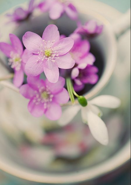 Hepatica- the wildflower I picked every spring in our woods. My platonic flower.