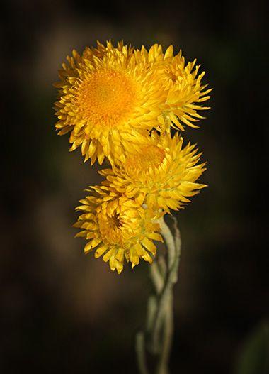 Chrysocephalum semipapposum.  John Tiddy Photography Grampians Wildflowers Wildflowers from the Grampians Gariwerd area Victoria Australia