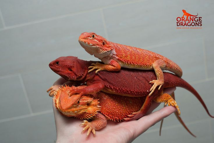 Reds bearded dragons - hypo/hypotrans