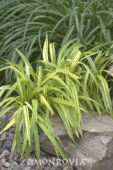 Gold Stripe Flax Lily (Dianella tasmanica 'Yellow Stripe')  for sun.