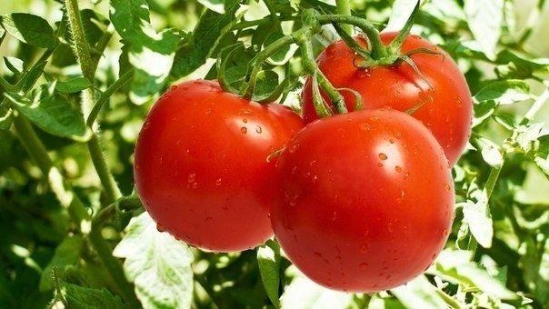 Добавляем в ведро воды 4 капли йода и поливаем помидоры раз в неделю, расходуя на растение 2 литра воды. Это удобрение помогает плодам быть крупнее и созревать раньше. смешиваем 10 литров воды с 20-ю каплями йода, литром сыворотки и поливаем удобрением помидоры. Раствор не только способствует созреванию плодов, но и уничтожает микробы.