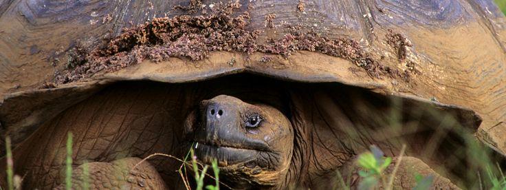 Giant Tortoise  http://worldwildlife.org/species/giant-tortoise