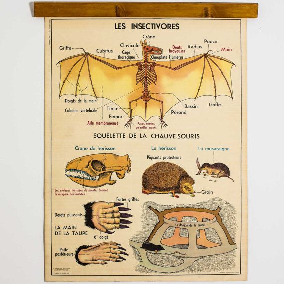 Bat & Rabbit Poster - Circa 1960 - Insectivores Double Sided Original French Educational Chart of Animal Biology