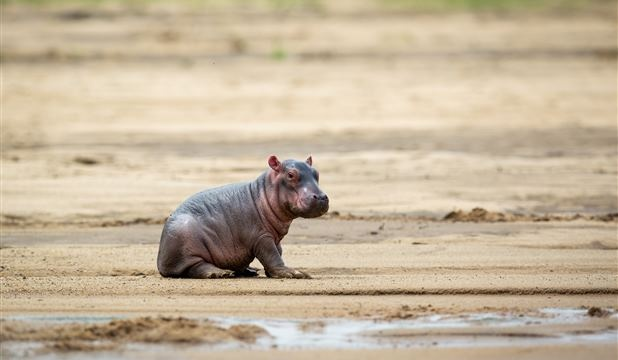 Baby Hippo - a few hours old, Luangwa River