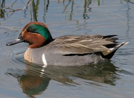 Green-winged teale male. A very small, brightly patterned duck, the Green-winged Teal prefers shallow ponds with lots of emergent vegetation. Along the coast, it prefers tidal creeks, mudflats, and marshes to more open water.