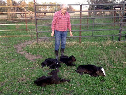 LUBBOCK, Texas (AP) — A cow in Northeast Texas has apparently defied great odds and given birth to four calves that have been named Eeny, Meeny, Miny and Moo. Jimmy Barling said Monday that DNA tes...