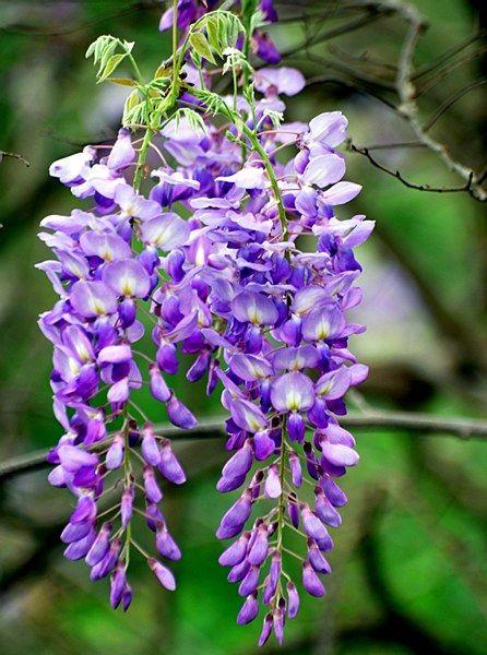 Wisteria sinensis 'Prolific' - Arboretum Garden Centre