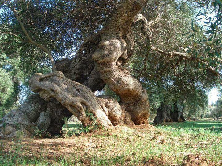 Descubriendo a los titanes de madera, los olivos milenarios.