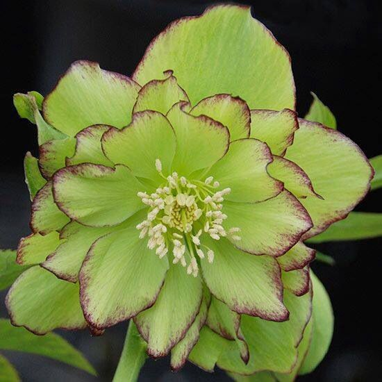 Growing Hellebores Those Lovely Harbingers Of Spring: 17 Best Images About Flowers / Floral Design On Pinterest