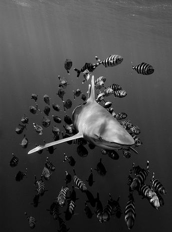 Oceanic whitetip shark with an entourage of pilot fish. The whitetip is a large pelagic shark inhabiting tropical and warm temperate seas. This aggressive but slow-moving fish dominates feeding frenzies, and is a danger to shipwreck or air crash survivors. Recent studies show steeply declining populations because its large fins are highly valued as the chief ingredient of shark fin soup...The pilot fish eats ectoparasites on, and leftovers around the host species.