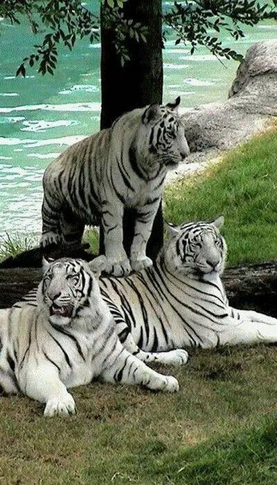 Tigres albinos                                                                                                                                                                                 Más