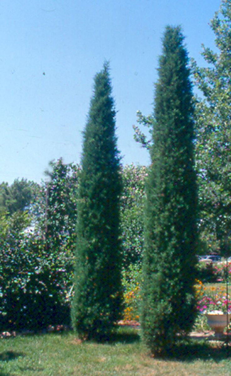 Taylor Juniper ~ evergreen tree ~ 2' wide x 15' high ~ Planted close together, they make a great sound barrier and serve as a living 'fence' between lots.
