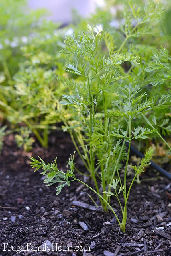 Growing carrots in the garden doesn't have to be hard. This gardening guide is everything you'll need to know for how to grow carrots in your own garden. You can start them from seed, grown them in raised beds or in containers. You just need the right soil for the plants. There're even suggestions on how to preserve your carrot harvest for later use. I didn't realize why carrots can split but now I know.