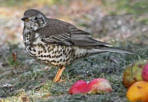Mistle Thrush - Seen at Haddington, Lincs18 May 15