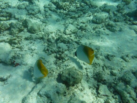 A pair of threadfin butterflyfish