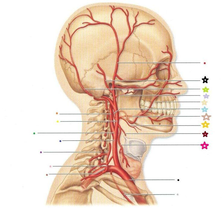 Gastrocnemius muscle (Musculus gastrocnemius) | Muscle, Vein, Artery ...