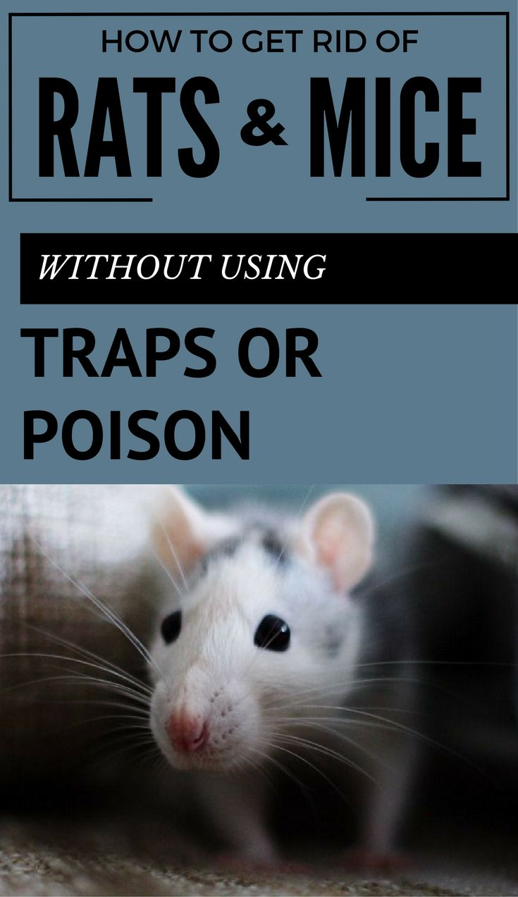 Best 25 Getting Rid Of Rats Ideas On Pinterest Getting Rid Of Mice Diy Mice Repellent And