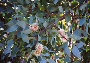 Hakea petiolaris • Australian Native Plants • Plants • 800.701.6517
