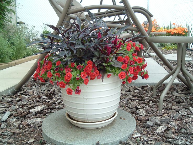 Sweet potato vine and million bells with red celosia