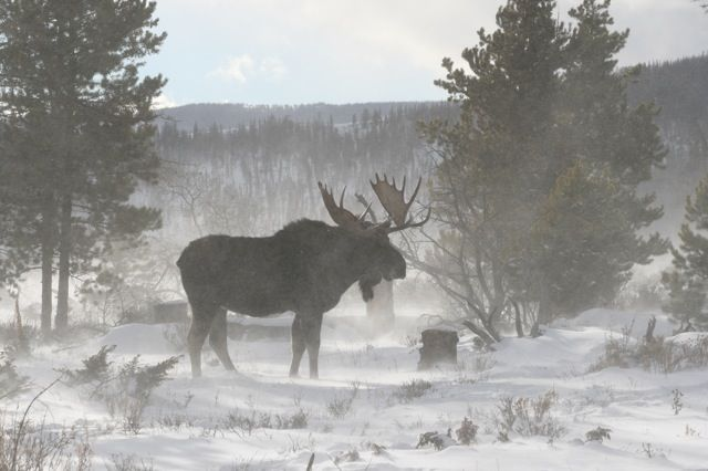 Mooseworld: Winter Moose of Colorado