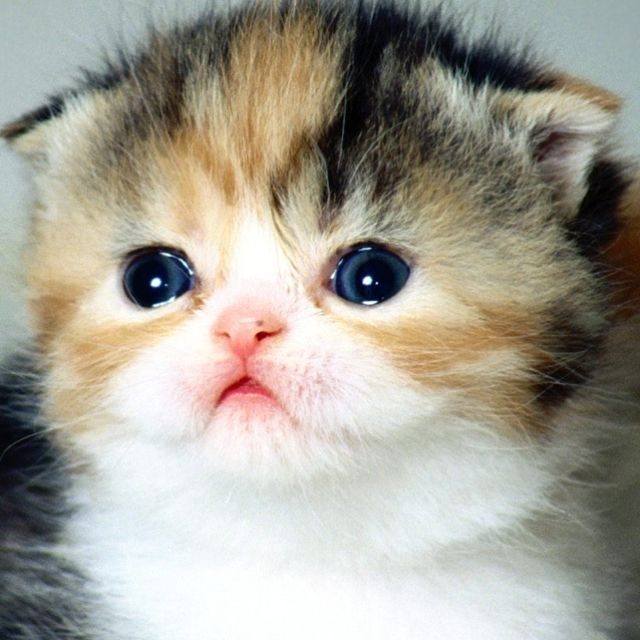 Scottish fold cat!!!!!