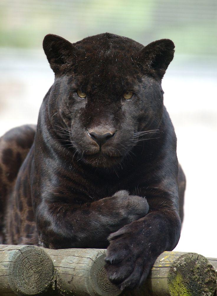 Best 25+ Black jaguar ideas on Pinterest | Jaguar animal ... - photo#32