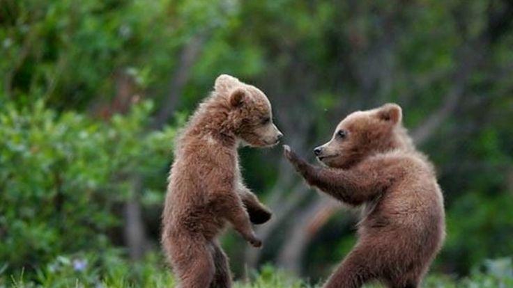 #Бурые медведи#мишки выходят и на рыбалку