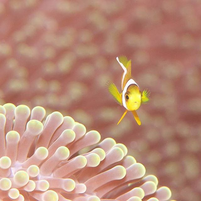 #clownfish #nemo #underwater #scuba #diving  #カクレクマノミ #ニモ #ダイビング #沖縄 #石垣島